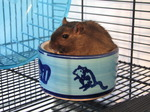 SX05971 Hendrix the Gerbil sitting in food bowl.jpg