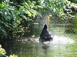 SX06190 Bathing Coot.jpg