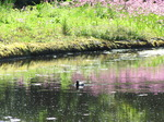 SX06220 Coot swimming with reflection of Ragged Robin (lychnis flos-cuculi).jpg