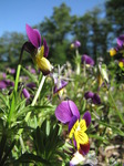 SX06271 Heartsease (Viola tricolor).jpg