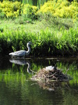 SX06369 Grey herron and coot nesting.jpg