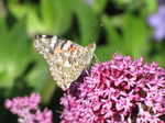SX06427 Painted lady butterfly (Cynthia cardui) on pink flower Red Valerian (Centranthus ruber).jpg
