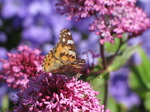 SX06440 Painted lady butterfly (Cynthia cardui) on pink flower Red Valerian (Centranthus ruber).jpg