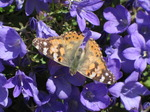 SX06449 Painted lady butterfly (Cynthia cardui) on blue flower.jpg