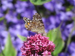 SX06471 Painted lady butterfly (Cynthia cardui) on pink flower Red Valerian (Centranthus ruber).jpg
