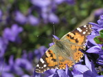 SX06492 Painted lady butterfly (Cynthia cardui) on blue flower.jpg