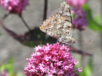 SX06493 Painted lady butterfly (Cynthia cardui) on pink flower Red Valerian (Centranthus ruber).jpg
