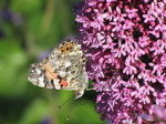 SX06511 Painted lady butterfly (Cynthia cardui) on pink flower Red Valerian (Centranthus ruber).jpg
