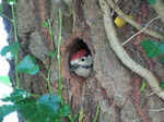 SX06532 Lesser spotted woodpecker - juvenile peaking out hole in tree(Dendrocopos minor).jpg