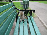 SX06607Grey Squirrel (Sciurus carolinensis) on park bench.jpg