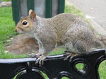 SX06612Grey Squirrel (Sciurus carolinensis) on arm of park bench.jpg