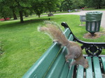 SX06615 Grey Squirrel (Sciurus carolinensis) jumping off park bench.jpg