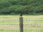 SX06633 Stonechat on fence post (Saxicola torquata).jpg