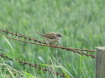 SX06646 Whitethroat on wire (Sylvia communis).jpg