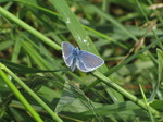 SX06657 Common Blue butterfly (Polyommatus icarus).jpg