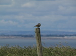 SX06685 Meadow pipit on post (Anthus pratensis).jpg
