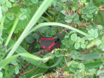 SX06829 The Cinnabar butterfly (Tyria jacobaeae).jpg