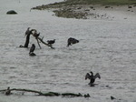 SX06856 Cormorants in Ogmore River (Phalacrocorax carbo).jpg