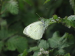 SX06875 Small White butterfly (Pieris rapae).jpg