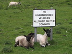 SX06879 Sheared sheep and lambs underneath 'No unauthorised vehicles allowed on the common' sign.jpg