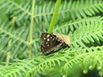 SX06885 Two Speckled Wood butterflies (Pararge aegeria).jpg