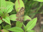 SX06887 Speckled Wood butterfly (Pararge aegeria).jpg
