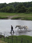 SX06892 Man in wellies walking white horse over stepping stones by Ogmore Castle.jpg