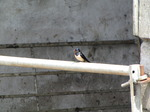 SX06902 Swallow on farm gate (Hirundo rustica).jpg
