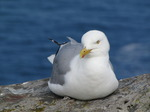 SX07194 Herring Gull sitting on cliff edge (Larus argentatus).jpg