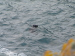 SX07438 Grey Seal (Halichoerus grypus) in Tintagel Haven.jpg