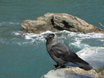 SX07517 Jackdaw (Corvus monedula) on edge of cliff.jpg