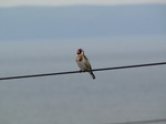 20090617 Singing Goldfinch (Carduelis carduelis) on wire