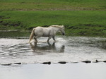 SX08647 White horse crossing river at Ogmore Castle stepping stones.jpg