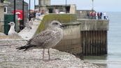 SX08686 Young Herring gull (Larus argentatus) on harbour wall.jpg