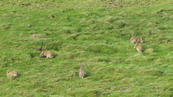 SX08802 Rabits grazing on Trevelgue Head - Porth.jpg