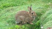 SX08832 Wild rabit on Trevelgue Head - Porth.jpg