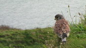 SX08844 Kestrel (Falco tinnunculus) on Trevelgue Head - Porth.jpg