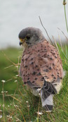 SX08845 Closeup of Kestrel (Falco tinnunculus) on Trevelgue Head - Porth.jpg