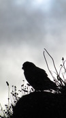 SX08847 Silhouette of Kestrel (Falco tinnunculus) on Trevelgue Head - Porth.jpg