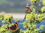 SX09137 Two Red Admiral butterflies (Vanessa atalanta).jpg