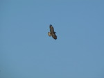 SX09266 Buzzard (Buteo buteo) flying over campsite.jpg