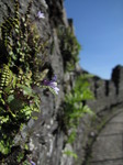 SX09291 Tiny flower of Ivy-leaved Toadflax (Cymbalaria muralis) on wall of Restomel Castle.jpg
