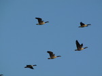 SX09754 Canada Geese (Branta canadensis) flying in V formation in morning sun.jpg
