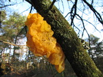 SX11079 Yellow sponge and lichen on tree.jpg