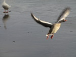 SX11200 Geese flying over frozen lake.jpg