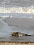 SX11268 Adult Grey or atlantic seal (Halichoerus grypsus) on beach.jpg