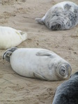 SX11277 Cute grey or atlantic seal pups sleeping on beach (Halichoerus grypsus).jpg