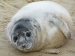 SX11300 Cute Grey or atlantic seal pup on beach (Halichoerus grypsus).jpg