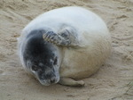SX11303 Cute Grey or atlantic seal pup itching on beach (Halichoerus grypsus).jpg