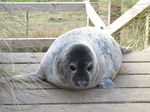 SX11339 Cute Grey or atlantic seal pup on wooden stairs (Halichoerus grypsus).jpg